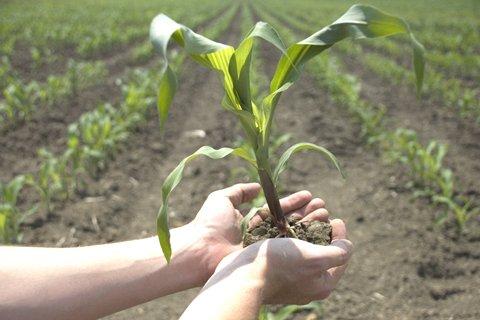 Pioneer introduces new transgenic corn product, Optimum ...