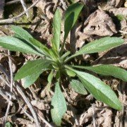 Marestail. Photo by OSU Extension.
