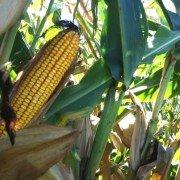 FSR corn