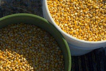 corn in buckets