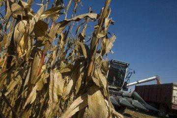 corn harvest gleaner