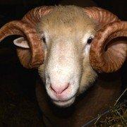ram sheep horned dorset