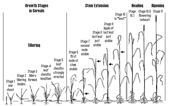 wheat is at a critical disease stage  u2013 ohio ag net