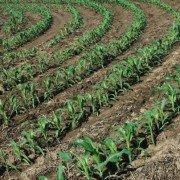 corn curve