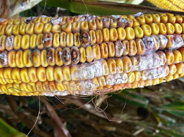 Moldy corn could be an issue in late corn harvest | Ohio Ag Net ...