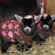 pygmygoatsinsweaters