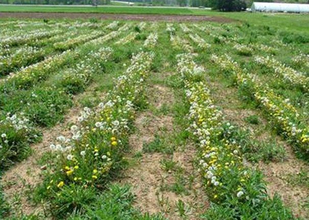 Dandelions Cash Crop For Ohio Ohio Ag Net Ohio S