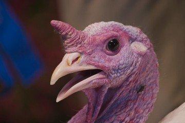 close turkey