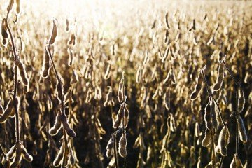 soybeans in the sun
