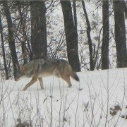 A sighting of coyotes and the howl of a pack of coyotes is almost common these days for many rural dwellers.  Photo courtesy of the ODNR by Victoria Marcum-Howard.