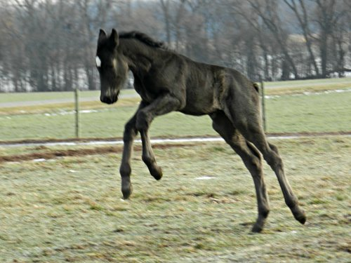 newborn draft horse foals ohio ag net ohio s country journal