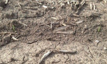 The Wilson family of JCW Farms Partnership of Plain City shared this photo on Saturday of corn they planted 17 days earlier that had sprouted.