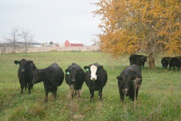 Robison2 cattle