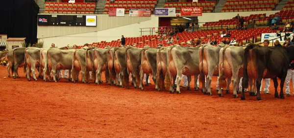 cows-lined-up-in-show-ring