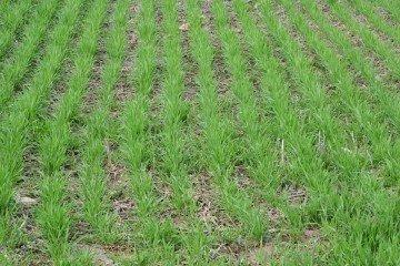 fairfield-county-wheat