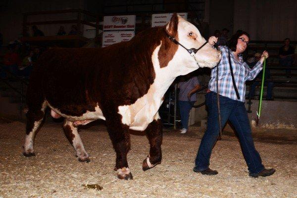 hereford-bull_0