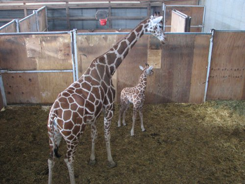 the-farm-at-walnut-creek-baby-giraffe