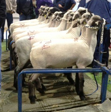 sheep on stand