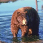 Black bear in lake