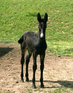This Percheron mule foal was born in May 2013 on Joe and Sally Reed's farm.
