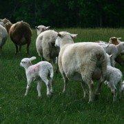 sheep flock 4