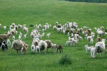 sheep flock 7