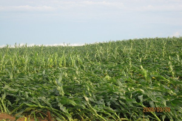 Corn fields in Croton pretty much flattened.
