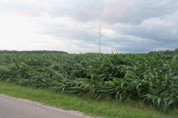 Wind damage to corn field one mile north of St. Rt. 119 west of Anna.