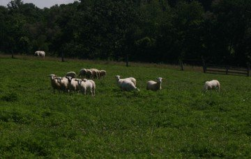 Shepherds visited four Amish farms during the Sheep Grazing Management Tour held July 12.