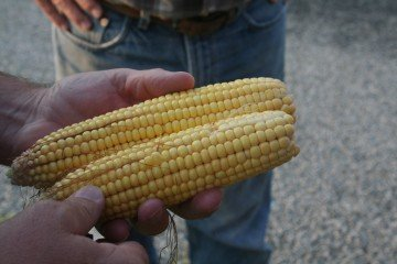Corn in Tipton County, Indiana