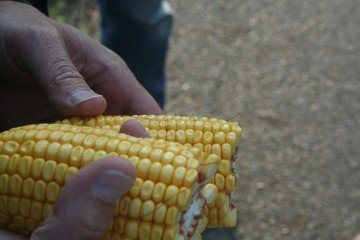 20 rounds on a Tazewell County, Illinois ear of corn