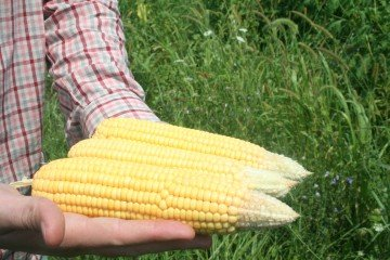 More tip back in corn in Henry County, Illinois