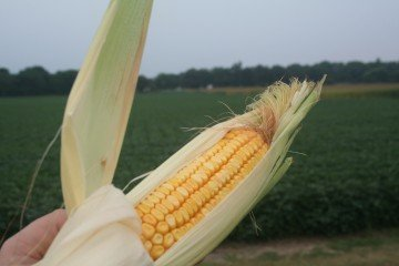 A good looking corn ear in Linn County, Iowa