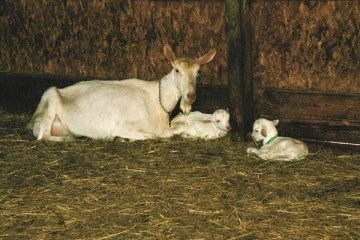Most kids are raised by their mothers in West's herd of goats.