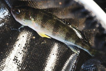 The perch provide the ammonia that is transformed into nitrates by bacteria in the water.