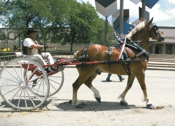 Craig Hammersmith was the winner of the Men's Belgian Gelding Cart Class at the 2013 Ohio State Fair.