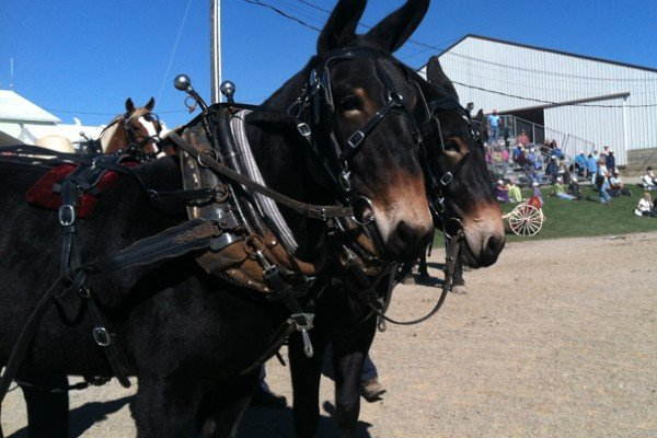 These mules belonged to an Amish friend of mine. They seemed happy to be at the sale.