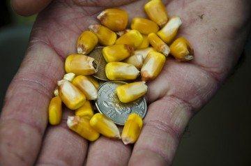 corn kernals