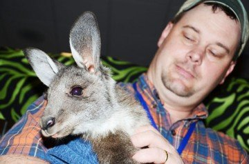 Jamie Beneke, with Valley Exotics, LLC in Eaton, holds a kangaroo in the trade show.