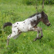 Miniature horse foal playing. Photo by Lavonne Parks