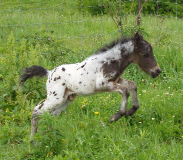Baby Mini Horse Running