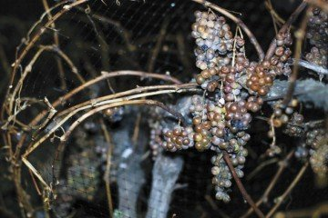 Frozen grapes are harvested before dawn to make ice wine.