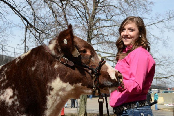 Maddie Bauer, from Willard, gets ready for the show ring with her Shorthorn.