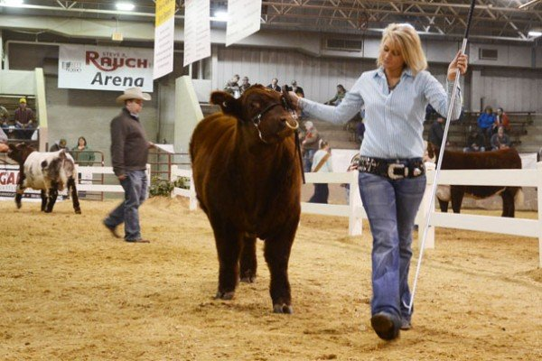 Ashley Vogel with her Shorthorn from Weeping Fox Ranch in Iowa