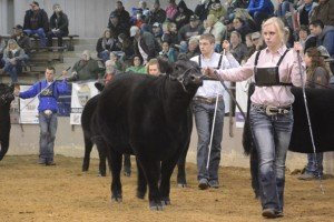 Lindsey Pugh, from Stark County, with her Angus heifer.