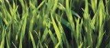 wheat greenup
