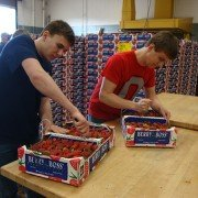 Zane Trace FFA  members Cameron Thompson and Colton Smith divide flats of strawberries for customers.