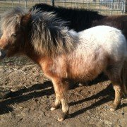 This little horse didn't start shedding any hair until the middle of April in 2014.