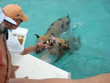 swimming_pigs_05-620x