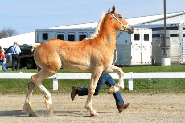 Lot 19 was the high selling stallion for the sale. He sold for $14,000. Photo courtesy of JW Wilcox - Amish Country Images.